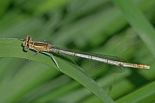 Platycnemis pennipes - the White-legged Damselfly (immature female)