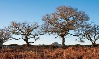 Trees by a stone wall in winter: Dartmoor - Nik-0203