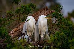 Morning Light (DonMiller_ToGo) Tags: greatwhiteegret wildlife venicerookery onawalk nature bird birds outdoors birdwatching egret d810 rookery florida