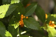 180124006 (murbozero) Tags: murbo japan flower