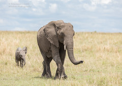 African Elephant and calf - Loxodonta (rosebudl1959) Tags: 2017 kenya masaimara zebraplains africanelephant