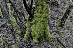 Nature (polletjes) Tags: nature natuur groen vert green gruen grijs grey tree trees bomen takken branches leaves blad bladeren bos forest wood bois wald belgie belgium hautes fagnes hoge venen