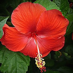 Hibiscus Beauty (AngelVibePhotography) Tags: petals colorful beautiful closeup outdoors blooms garden red nature plant northcarolina raleighnc blossom blossoms photography macro hibiscus flowers flower brightcolors outdoor