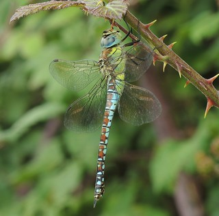 Southern Migrant Hawker (Aeshna affinis) Female