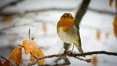 Robin. (ChusPS) Tags: birds robin nature color light snow forest foret beechforest barcelona montseny fogarsdemontclús santafedelmontseny catalunya catalonia nikon nikkor winter hivern invierno aves ocells natura bosque bosc unesco mediterranean