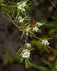 Weeping Baeckea (Baeckea linifolia Rudge) ([S u m m i t] s c a p e) Tags: baeckealinifolia bluemountains clifftoptrack katoomba myrtaceae weepingbaeckea nativepleants summer white