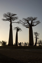 dusk (matt_in_a_field) Tags: eos 5d mk3 canon dslr madagascar travel dusk sunset silhouettes trees baobab alley scenic scenery
