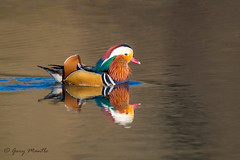 Mandarin Duck (male) (Liquidparadox) Tags: mandarin gloucestershire duck beautiful sexymale reflection colourful bright canon 500mm 1dx2 14x