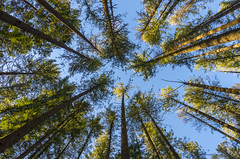 Looking Up (s.d.sea) Tags: perspective wide angle pentax k5iis outdoors outside nature trees tall forest woods giants evergreen tower green rattlesnake lake trailhead trail hiking hike blue sky winter sunny north bend pnw pacificnorthwest washington washingtonstate