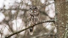 Barred Owl. (ELARBI TAOUIL) Tags: bird birdphotography barredowl tamron150600mm g2