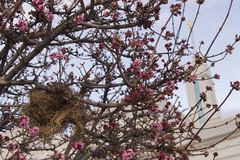 Premature Signs of Spring (aaronrhawkins) Tags: spring flower bud blossom bloom tree pink nest bird season cold winter warm timpanogos temple americanfork utah spire aaronhawkins