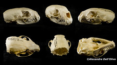 Martes martes (achrntatrps) Tags: crânes skulls bones os animals nikkor d800 pce45mmf28 alexandredellolivo suisse lachauxdefonds lycéeblaisecendrars collection sb900 sb800 achrntatrps achrnt atrps photographe photographer flash