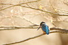 Kingfisher (Teruhide Tomori) Tags: 京都 カワセミ 日本 野鳥 野生動物 自然 鳥 bird kingfisher winter nature kyoto japan japon animal wild forest wood tree