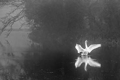 Swan Lake (Frank Fullard) Tags: frankfullard fullard swan swanlake dance dancing ballet bird wildlife avian monochrome blackandwhite nour blanc turlough castlebar mayo irish ireland lake lough fog weather museum museumofcountrylife irishmuseum