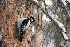 IMG_1094-20.jpg (David A Mitchell) Tags: wildlife birds woodpeckers hairywoodpecker