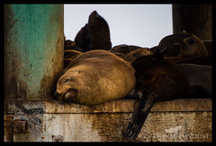 I'm very much asleep (Lionel Davoust) Tags: australia melbourne portphilipbay cute earedseal funny pinnipeds sealion seal sleeping wildlife