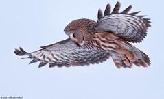 Lapinpöllö (mattisj) Tags: aves birds eläimet fåglar greatgreyowl lapinpöllö linnut pöllölinnut pöllöt raumonjärvi strigidae strigiformes strixnebulosa lappuggla