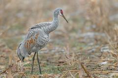 a Sandhill Crane (PhillymanPete) Tags: sandhillcrane wildlife crane bird pennsylvania nature gruscanadensis field cornfield doylestown unitedstates us nikon d800e