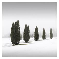 Totems (Vesa Pihanurmi) Tags: trees cypress winter snow nature espoo finland minimalistic minimalism