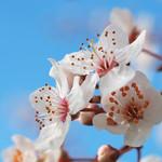 Fleurs de printemps thumbnail