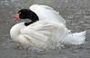 blacknecked swan artis BB2A0892 (j.a.kok) Tags: vogel bird artis swan blackneckedswan zwarthalszwaan zwaan