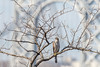 Cooper's Hawk (jessicaweinbergmcclosky) Tags: accipitercooperii coopershawk gwb georgewashingtonbridge manhattan newyork washingtonheights birds hawks immature raptors fortwashingtonpark