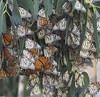 """25 Pismo Beach Monarch Butterfly Grove 2.2.18 • <a style=""""font-size:0.8em;"""" href=""""http://www.flickr.com/photos/36838853@N03/39557154844/"""" target=""""_blank"""">View on Flickr</a>"""