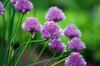 Schnittlauch-Blüte (anubishubi) Tags: pflanze kräuter schnittlauch blüte pentaxk100dsuper