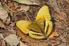 IMG_6424 Cymothoe egesta ♂ (Raiwen) Tags: cymothoeegesta cymothoe limenitidinae nymphalidae lepidoptera butterfly guinea westafrica