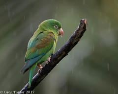 Orange-chinned Parakeet (Greg Sensei) Tags: rainforest parakeet orangechinned costa rica