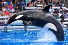 In Profile (CetusCetus) Tags: seaworld orlando florida swf swo sea world shamu show oneocean orca killerwhale whale dolphin cetacean animal makaio bow seaworldorlando water