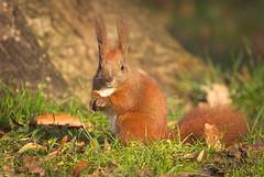Looking at a photographer (hedera.baltica) Tags: squirrel redsquirrel eurasianredsquirrel wiewiórka wiewiórkapospolita sciurusvulgaris