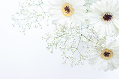 51/365: These are a few of my favourite things... (judi may) Tags: 365the2018edition 3652018 day51365 20feb18 gerbera gerberas gypsophila white whiteonwhite flowers itreatedmyself highkey canon7d 50mm stilllife dof depthoffield bokeh flower