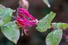Jelängerjelieber (Geißblatt) im Regen - Honeysuckle in the rain (riesebusch) Tags: berlin garten marzahn