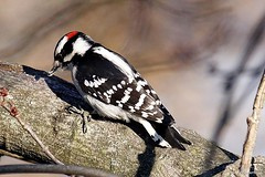 Downy Woodpecker (Male) (Anne Ahearne) Tags: bird tree nature wild animal wildlife downy woodpecker