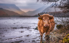 Having a paddle... (Einir Wyn Leigh) Tags: landscape cow animal water mountains wales winter moo