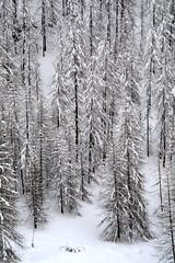 PIO_0541m (MILESI FEDERICO) Tags: milesi milesifederico montagna montagne mountain italia italy iamnikon inmontagna inverno ice wild winter piemonte piedmont visitpiedmont valsusa valliolimpiche valdisusa valledisusa sauzedicesana cittàmetropolitanaditorino freddo nikon nikond7100 nital natura nature nat neve nevicata snow 2018 gennaio alpi alpicozie altavallesusa altavaldisusa d7100 dettagli details paesaggio panorama landscape alberi albero ngc ngg europa europe explorer