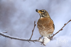 American Robin eating winter berry (J.Hunter Photography) Tags: