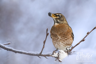 American Robin eating winter berry