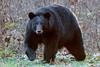 Black Bear (wn_j) Tags: nature naturephotography wildlife wildanimals wildlifephotography bear blackbear canon canon1dxii canon400mm talcottmountain