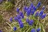 Blue Grape Hyacinths By A Tree (Modkuse) Tags: hyacinth hyacinths grapehyacinths smartphone cellphone flowers tree trunk