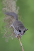 Dormouse (ToriAndrewsPhotography) Tags: dormouse pampass grass eyes workshop photography andrews tori