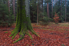 Holding tight to the ground (ralfkai41) Tags: moss landscape landschaft nature outdoor blätter wald natur woodlands baum tree forest leafs woods roots moos wurzeln
