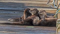 ND5_7215 River Otter Family (Wayne Duke 76) Tags: water marina dock riverotters mammals fur playful family