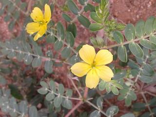 நெருஞ்சில் 1(Tribulus terrestris )
