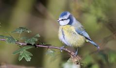 Blue Tit (Steve (Hooky) Waddingham) Tags: stevenwaddinghamphotography bird british song summer wild wildlife countryside nature tit tits