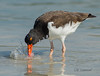 American Oystercatcher (CR Courson) Tags: americanoystercatcher florida oystercatchers birds birdphotography nikon naturephotography nature