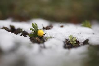 Frühlingsbote im Schnee