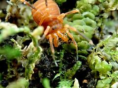 Harvestman Sclerobunus nondimorphicus (Bugldy99) Tags: animal arthropod arthropoda arachnid arachnida opiliones harvestman nature moss outdoors macro