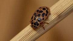 water ladybird, Anisosticta 19-punctata (David_W_1971) Tags: coleopteracoccinellidae raynox dcr250